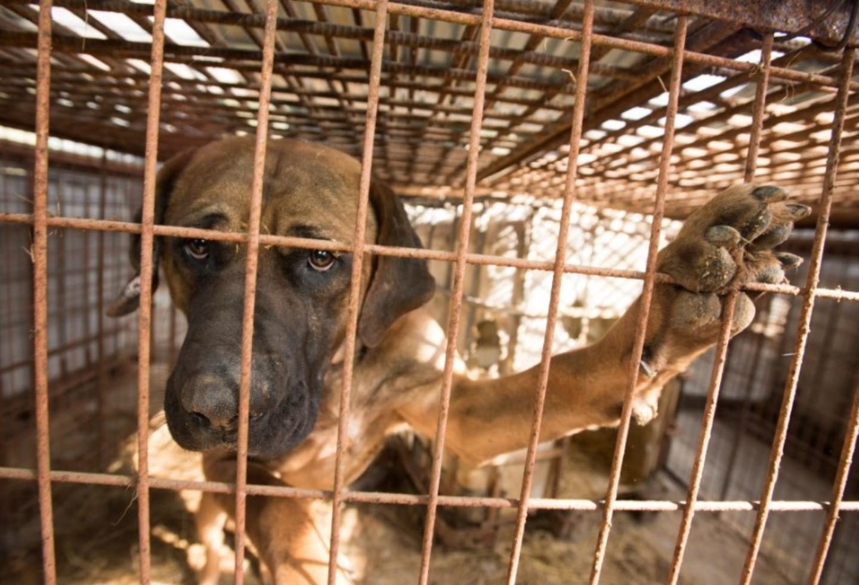 En este festival chino sacrifican y se comen los perros