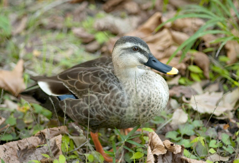 ¿Dónde está el pato? Buscan a la ave que se enredó con plástico en humedal de Bogotá
