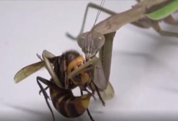 Mantis acaba con avispón asesino