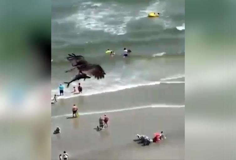 Águila caza tiburón