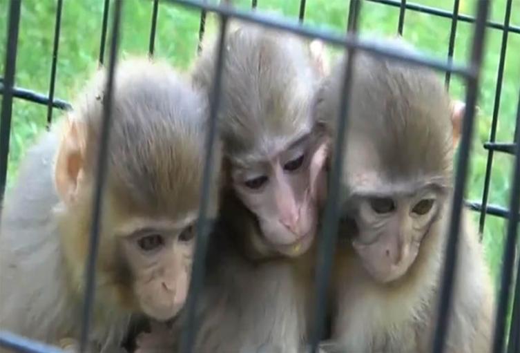 Monos protegen y abrazan a su hermano con Síndrome de Down