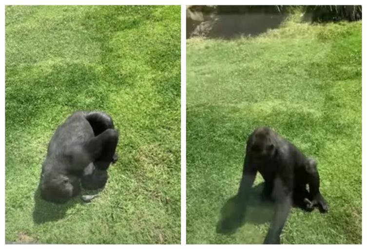 [Video] Gorila sorprende con su reacción al ver un pájaro herido