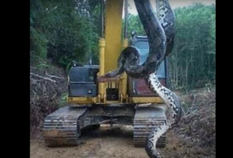 Anaconda gigante - Brasil