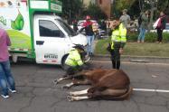 Caballo de Carabineros de la Policía murió atropellado por un vehículo