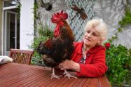 El gallo Maurice