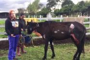 Yegua rescatada en Chapinero