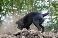 Perro cavando
