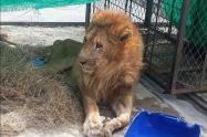 El león es sometido a nuevos exámenes para conocer que enfermedad padece.