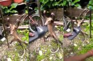 Tortura a zarigüeya