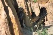 Gallina le ganó una pelea a un águila que intentó comerse a sus crías