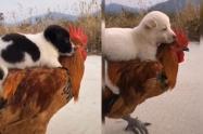 Cachorro montó un gallo como si fuera un caballo y enterneció a miles