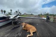 Vacas causan accidente de avioneta en aeródromo de Santa Rosa del Sur, en Bolívar