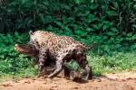 Muerte de caimán presa de jaguar