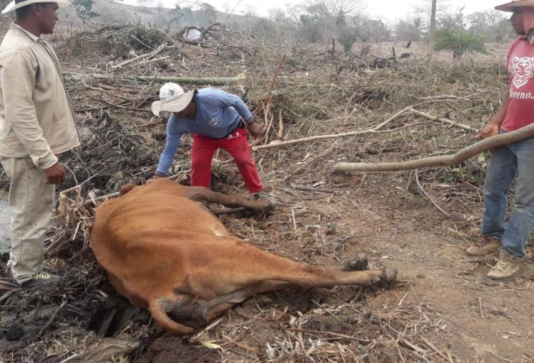 Sequía afectada la ganadería en Córdoba.