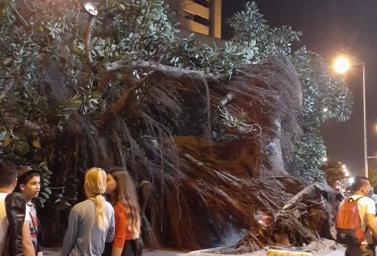 El gigantesco árbol cayó sobre un tramo de la Avenida Venezuela