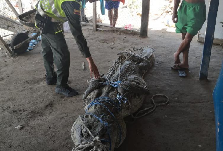 El caimán fue retirado por la Policía Ambiental.