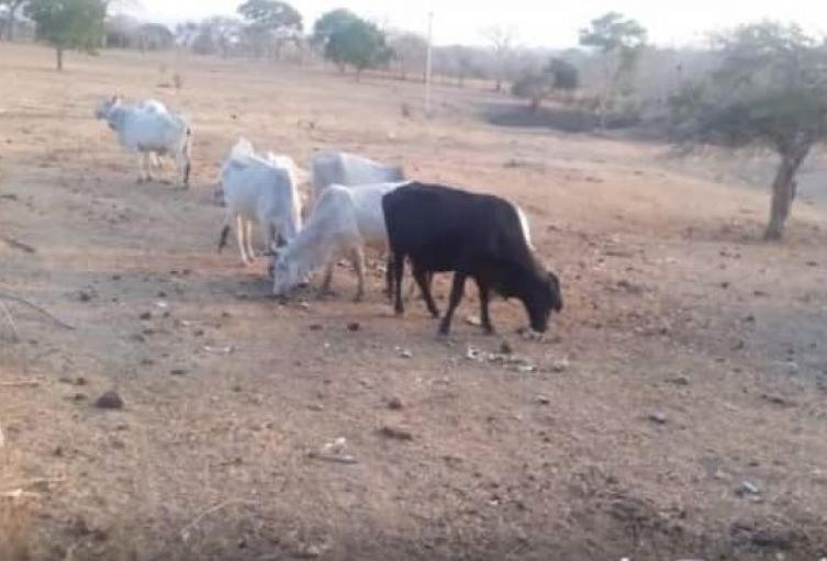 El fuerte verano tiene azotado a ganaderos y agricultores de Granada, corregimiento de Since-Sucre