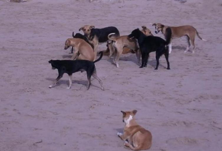 Perros callejeros en Aremasain-La Guajira