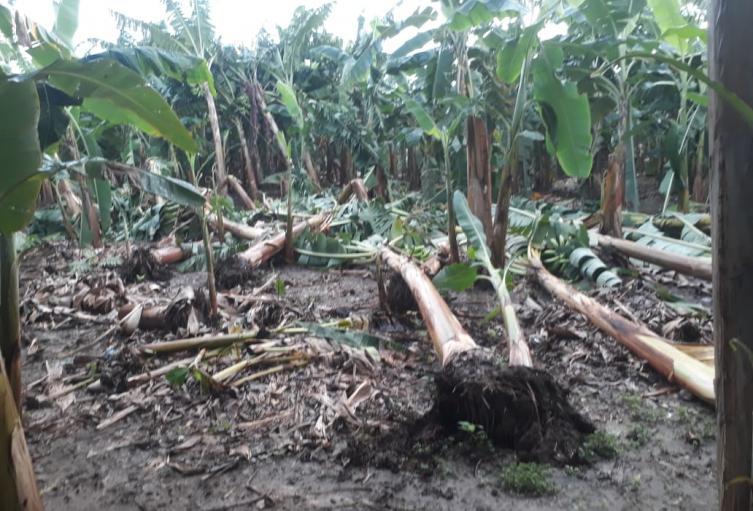 Los vientos comenzaron a causar daños en cultivos de plátano y maíz.
