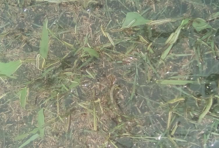El gusano ataca a pastos y cultivos.