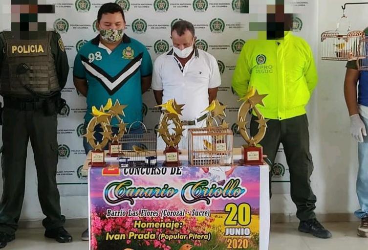 Dos personas capturadas en Corozal cuando realizaban concurso de canarios sin cumplir con los protocolos de Bioseguridad