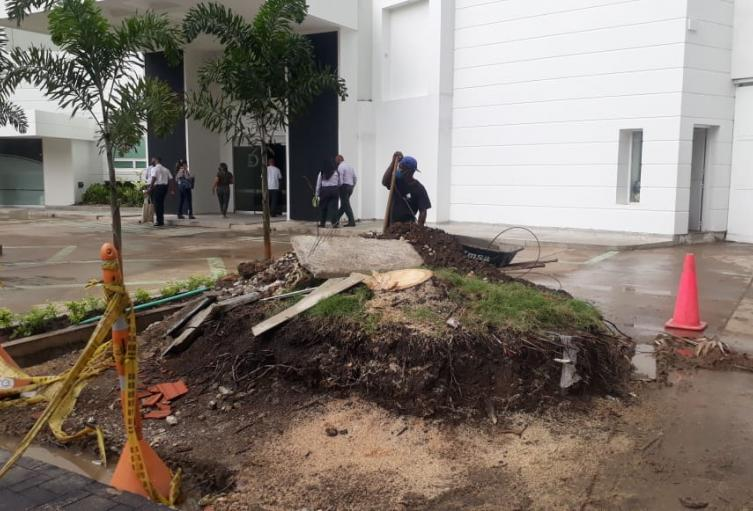 Tala de palmeras en Cartagena