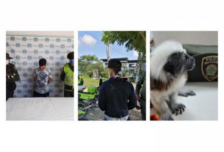 Policía ambiental en Sincelejo capturo a un individuo que tenia en su poder a un Mono titi Cabeciblanco como mascota