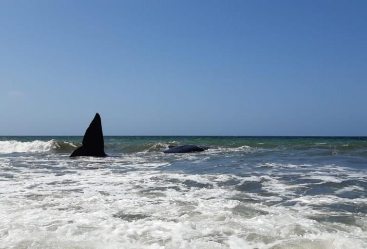 La ballena fue avistada ayer en la mañana.