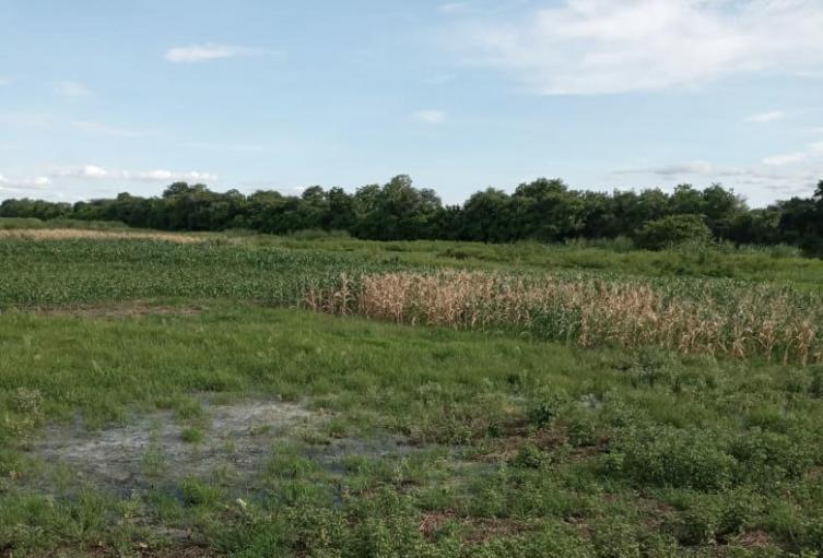 Cultivos afectados en Sabanagrande.