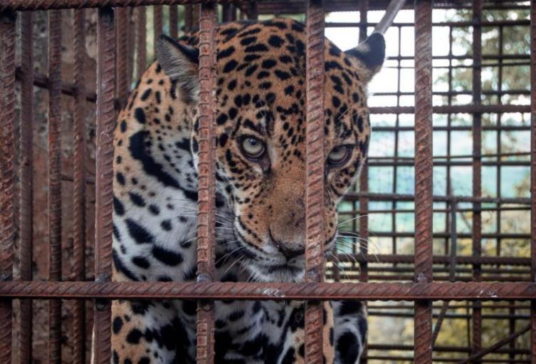 Jaguar hembra (panthera onca)