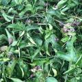 Advierten de la presencia del caracol africano en cultivos en Cesar