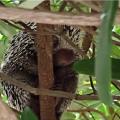 Puercoespín encontrado al norte de Barranquilla