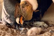 Cóndor nacido en el Aviario Nacional de Colombia