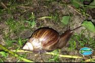 Corpamag, trabaja  con la comunidad para controlar la propagación del caracol africano