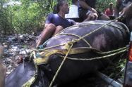 CORPAMAG, indican que el animal fue perseguido por pescadores de Tasajera desde el Puente de la Barra hasta Pueblo Viejo