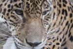 Jaguar, Corpamag, Santa Marta, Magdalena