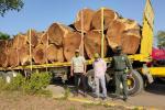 35 metros cúbicos de madera en trozas de la especie Samanea Saman - Campano.