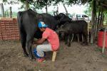 El proyecto de  ganadería bufalina comenzó en Tierralta