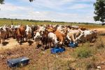 Las pérdidas son incalculables  en la ganadería