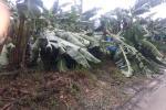 Pequeños agricultores perdieron el 100% de la cosecha de banano en Zona Bananera por vendaval