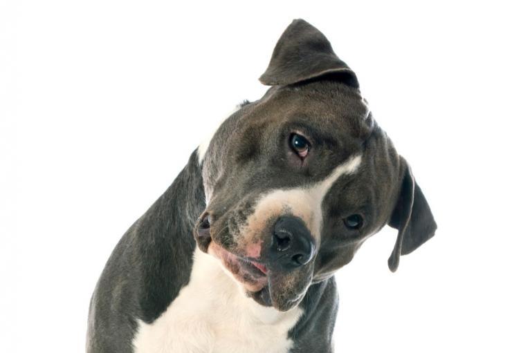 Perro pitbull. Imagen de ilustración