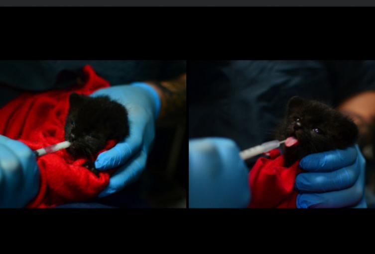 El felino tiene una extraña condición genética que hace que su pelaje sea completamente negro.