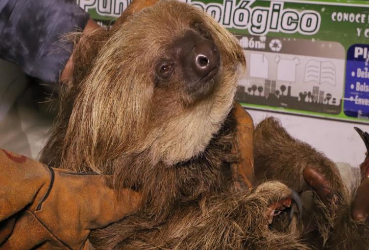 Campesinos rescatan a oso perezoso al que le arrancaron las garras
