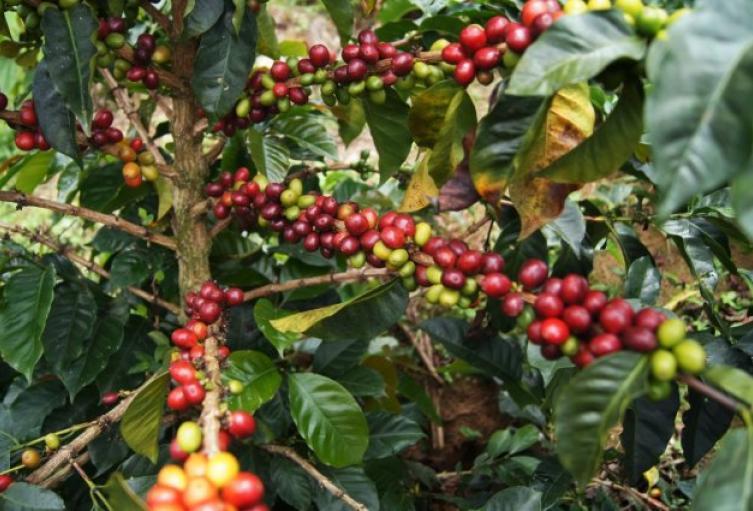 Cosecha cafetera en Antioquia.