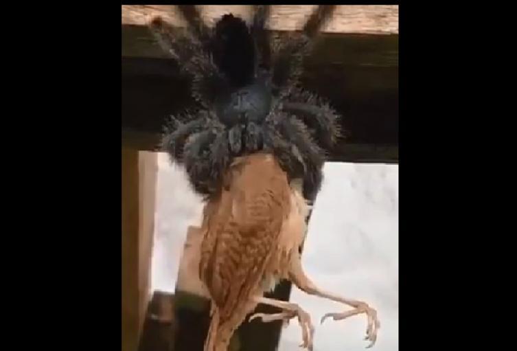 Tarántula gigante se devoró un aveen Australia