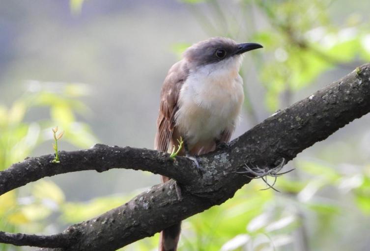 Se vio en Medellín el cuclillo piquioscuro, especie de ave nunca observada