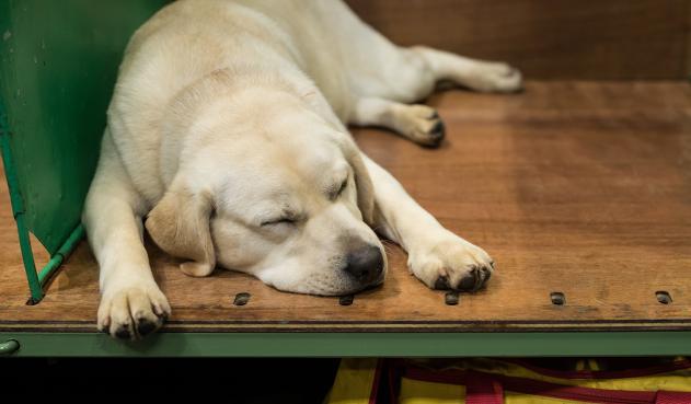 Foto de referencia de un perro labrador