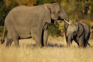 Elefante parque nacional Kruger