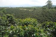Cultivos de café.