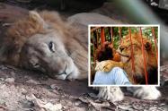 Cuidadora de Júpiter adelanta una cruzada para salvar al león